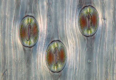 Squill (Scilla sp.) stomata, light micrograph