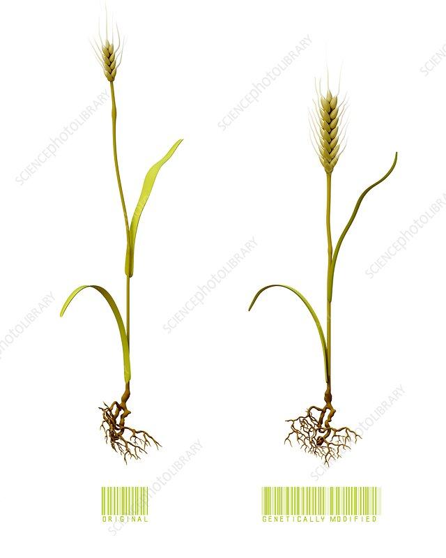 Genetically modified wheat, illustration - Stock Image C037