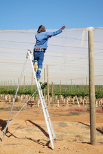 Protecting grape vines