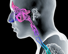 Paranasal sinuses and throat, 3D CT scan