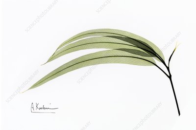 Eucalyptus leaves, X-ray