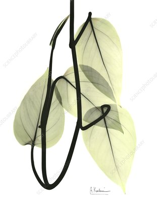 Pothos leaves, X-ray