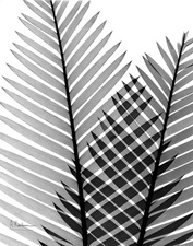 Plant fronds, X-ray