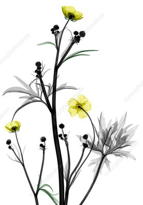 Buttercup flowers, X-ray