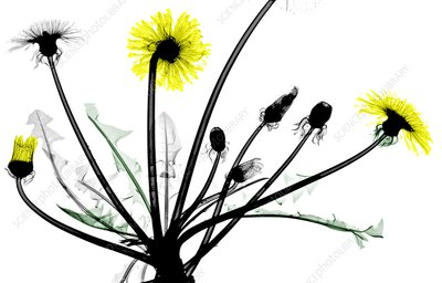 Dandelion flowers, X-ray