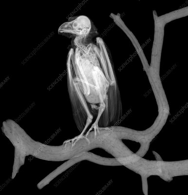 Long-eared owl, X-ray