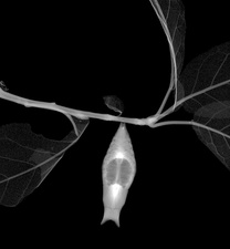 Butterfly cocoon, X-ray