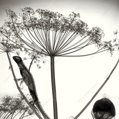 Lizard on giant hogweed, X-ray