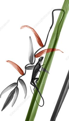 Iguana on heliconia plant, X-ray