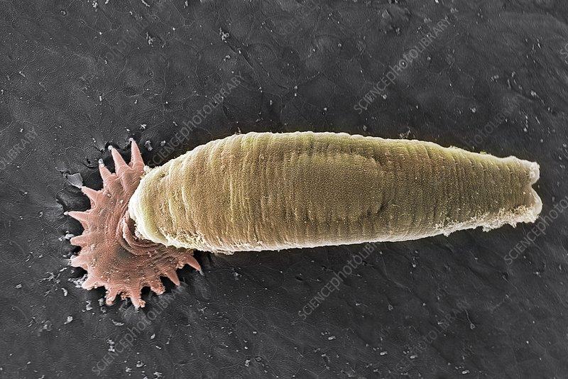 Gyrodactylus aquatic parasite, SEM