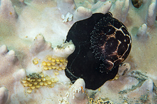 Common egg cowrie laying eggs