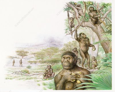 Australopithecus afarensis gathering fruit, illustration