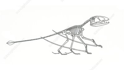 Dimorphodon skeleton, illustration