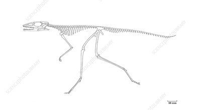 Scleromochlus skeleton, illustration