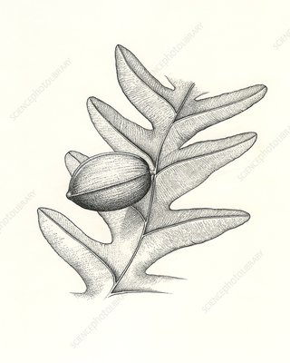 Trigonocarpus prehistoric plant and seed, illustration