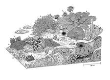 Indo-Pacific coral reef, illustration