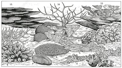 Coral morphology, illustration