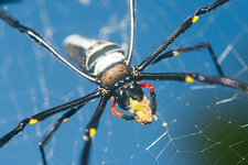 Giant golden orb weaver spider