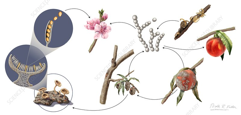 Peach Brown Rot Life Cycle Illustration Stock Image