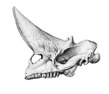 Arsinoitherium skull, illustration