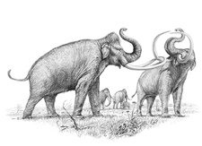 Steppe mammoths, illustration