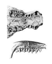Protungulatum and Trogosus jaw bones, illustration