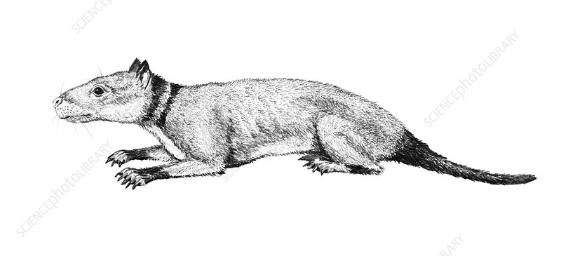 Hyopsodus, illustration