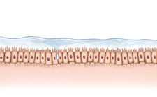 Mucous membrane, illustration