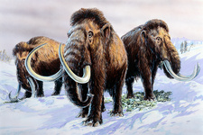 Woolly mammoths, illustration