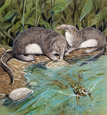 Dimylus feeding on a mollusc, illustration