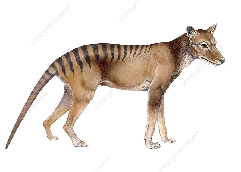 Thylacine, illustration