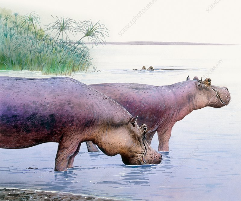 Hippopotamus gorgops, illustration