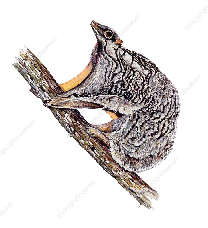 Philippine flying lemur, illustration