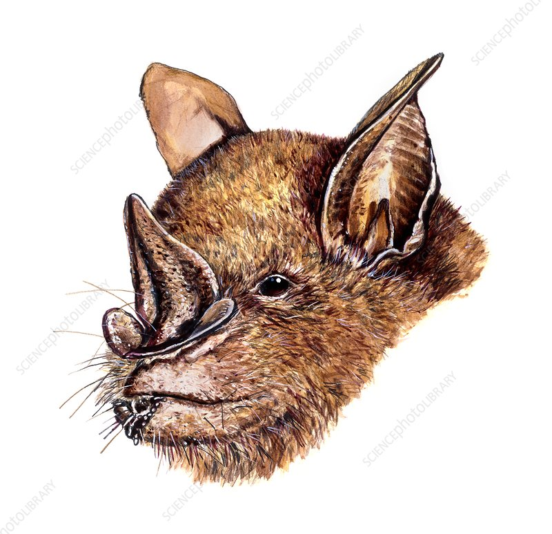 Leaf-nosed fruit bat, illustration