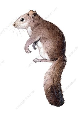 Leithia giant dormouse, illustration