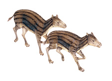 Hyracotherium, illustration