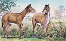 Mesohippus, illustration
