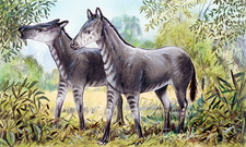 Anchitherium, illustration