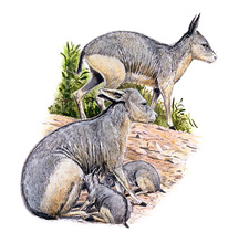 Cainotherium, illustration