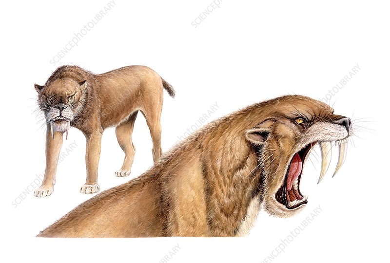 Smilodon sabretooth cat, illustration