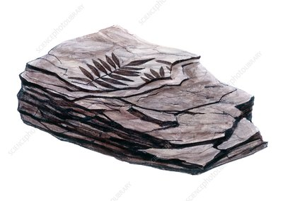 Mudstone containing fossils, illustration
