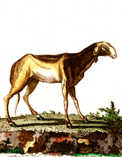 Indian ewe, 19th Century illustration