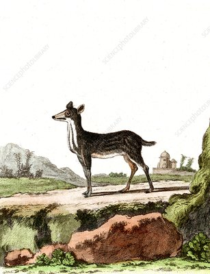 Lesser mouse-deer, 19th Century illustration