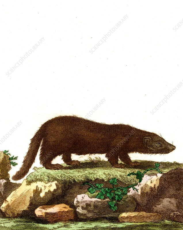 Mink, 19th Century illustration