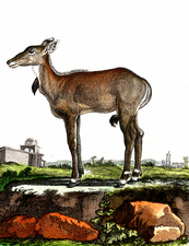 Nilgai, 19th Century illustration
