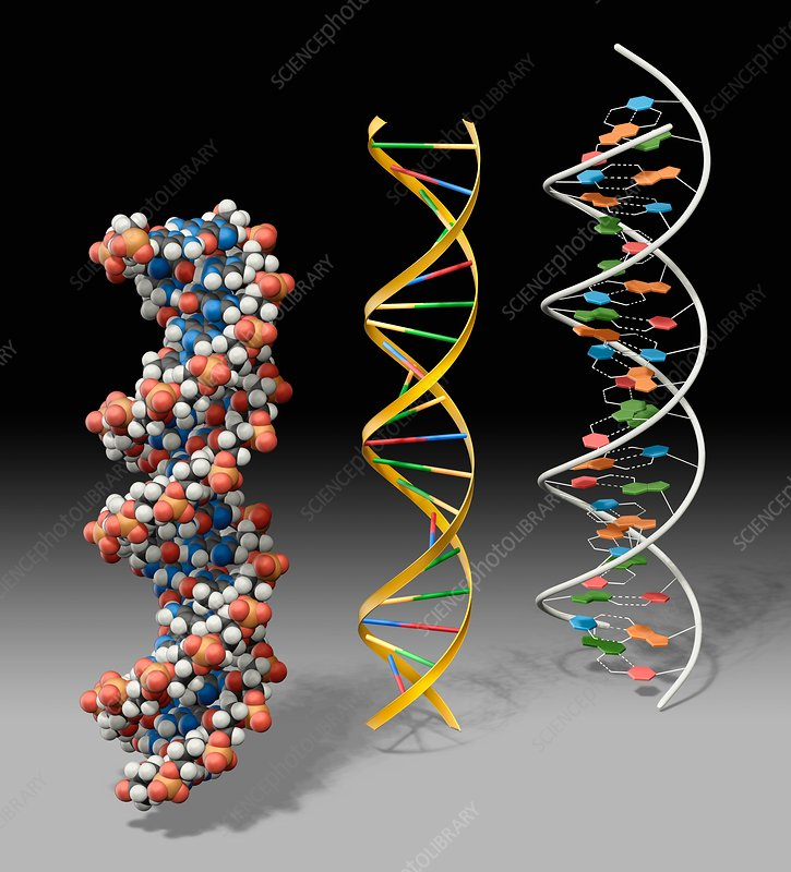 DNA models, illustration