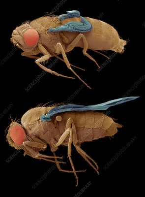 Normal and mutant fruit flies, SEM