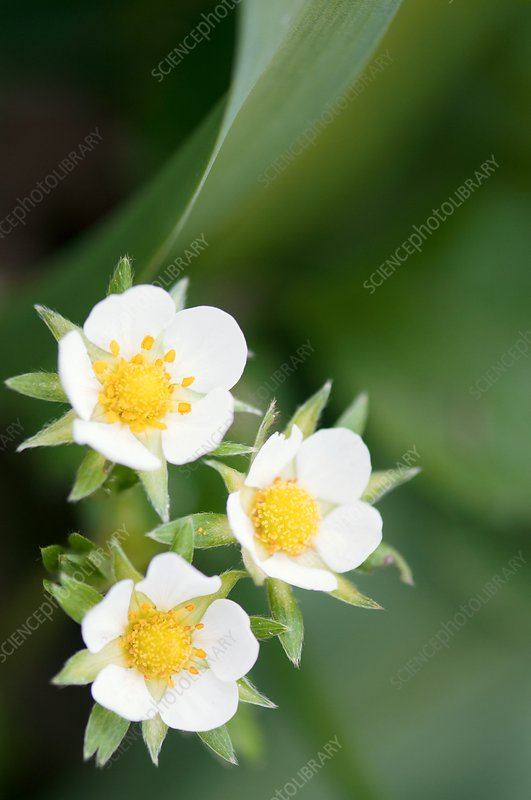 Strawberry (Fragaria sp.) flowers