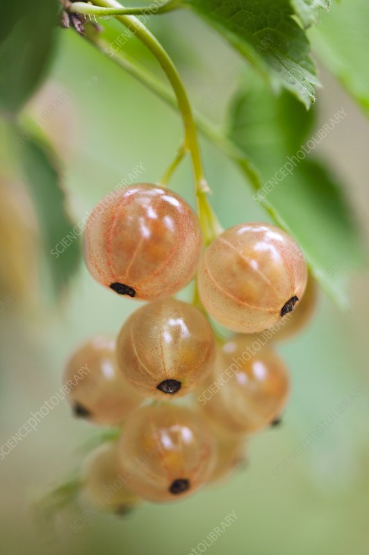 Pink currants (Ribes rubrum)
