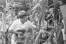 US geneticist Barbara McClintock in maize field, 1960s